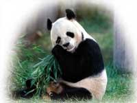 Nonno Panda