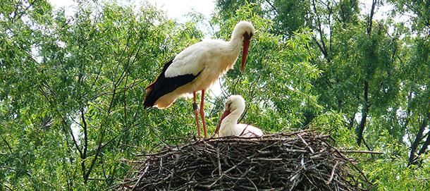 Fagangna's storks