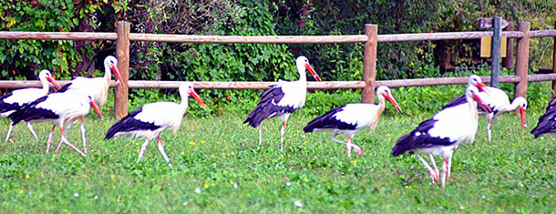 Storks in the fields of Fagagna.