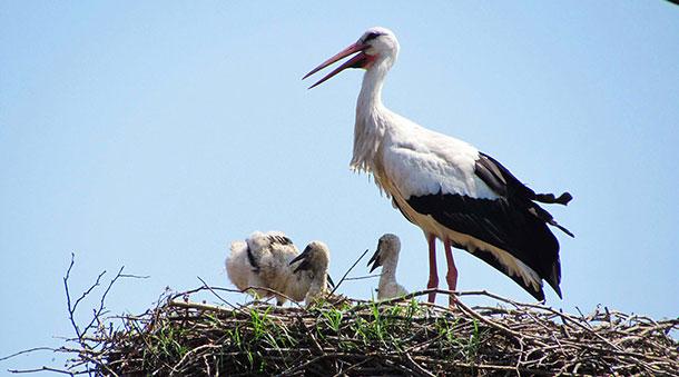 New-born stork