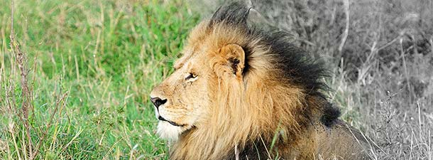 male african lion Masai Mara Kenya