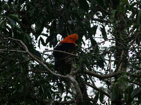 Cock-of-the-rock, national bird of Peru