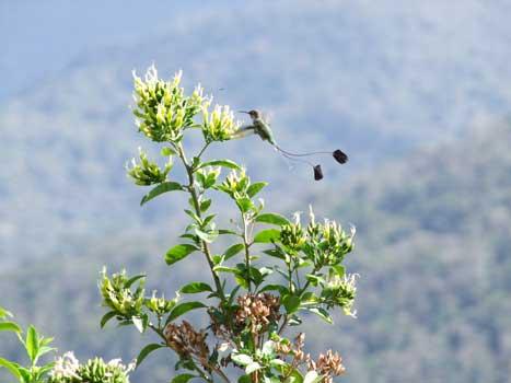 The Booted Racket-Tail hummingbird (Ocreatus underwoodii)