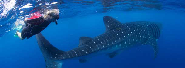 Sir Richard Branson swimming with whale sharks off the coast of Mexico. Courtesy David Dyson