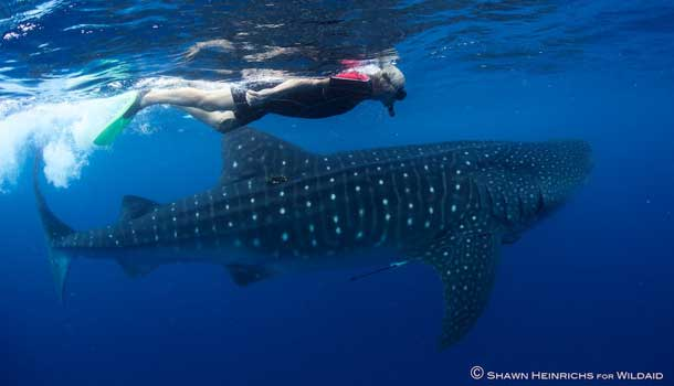 Sir Richard Branson swimming with whale sharks off the coast of Mexico. Courtesy Shawn Heinrichs for Wildaid